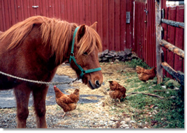 Horse and chickens